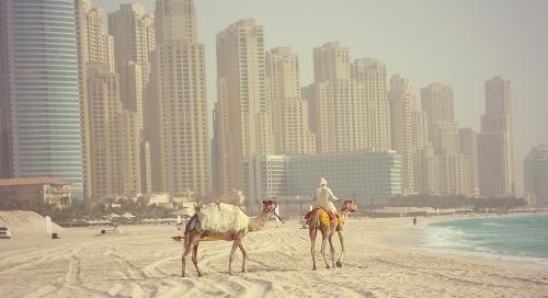 Верблюды на фоне Арабских Эмиратов