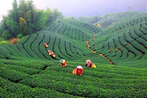 Чайная плантация на Тайване